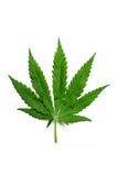 листья пеньки Стоковое фото RF