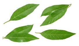 Листья персика изолированные на белизне без тени Комплект Стоковое Изображение