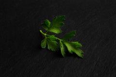 Листья петрушки закрывают вверх по взгляду на черной предпосылке Стоковые Изображения RF