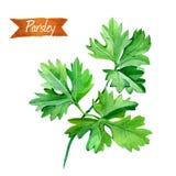 Листья петрушки изолированные на белой иллюстрации акварели Стоковые Изображения