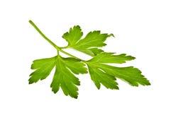 Листья петрушки стоковая фотография rf