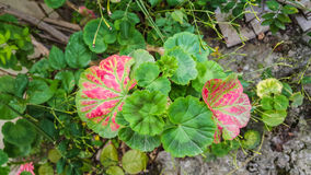 Листья пеларгонии Стоковое Фото