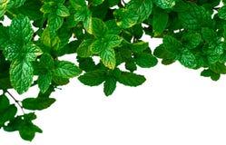Листья пипермента в саде изолированном на белой предпосылке стоковые фото
