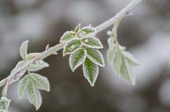 Листья плода шиповника покрытые с льдом Стоковая Фотография
