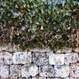 Листья плюща покрывая каменную стену искусственная голубая светлая каменная стена Зеленый плющ листает на белой предпосылке камен Стоковые Фотографии RF