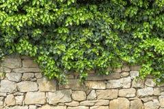 Листья плюща покрывая старую каменную стену Старая каменная стена Зеленый плющ листает на белой предпосылке каменной стены Зелено Стоковые Изображения RF
