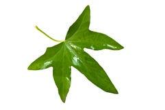 листья плюща Стоковая Фотография