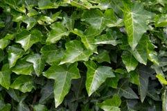 листья плюща Стоковые Фотографии RF