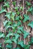 листья плюща Стоковая Фотография RF