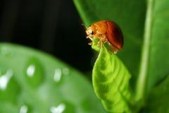 листья повелительницы черепашки зеленые Стоковое Изображение RF