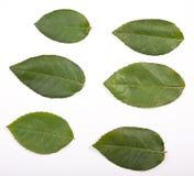 листья подняли Стоковые Изображения RF