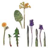 Листья поля одуванчика эскиза акварели полевых цветков бесплатная иллюстрация