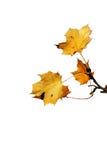 листья последнего autum Стоковые Изображения