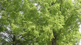 Листья пошатывая в ветре сток-видео