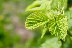 Листья поленики Стоковое Фото