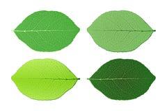 листья предпосылки 4 изолированные белые Стоковая Фотография