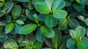 Листья предпосылки большие сияющие Стоковое Фото