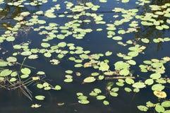 Листья предпосылки лилий воды Стоковая Фотография