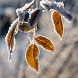 Листья при гололедь, сфотографированная после морозной ночи Стоковая Фотография