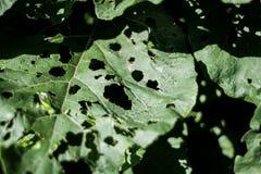 Листья при отверстия съеденные насекомыми стоковое изображение
