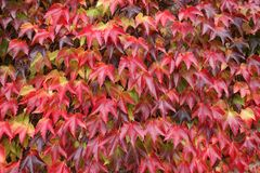 листья проползать засаживают красный цвет Стоковая Фотография