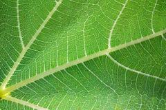 листья просвечивающие стоковое фото rf