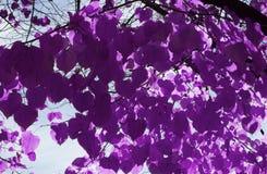 Листья пурпура на сезоне падения Стоковое Фото