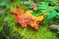 листья пущи звенят желтый цвет венчания Стоковые Изображения