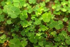 листья пущи 4 клеверов Стоковое Изображение
