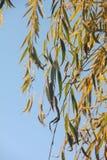 Листья плача вербы. Изморозь. стоковая фотография