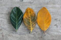 Листья плодоовощ Джека Стоковые Изображения