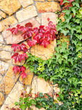 Листья плюща в осени Стоковые Фото