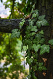 Листья плюща на ветви дерева Стоковые Фото