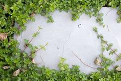 Листья плюща на поле кирпича Стоковое Изображение