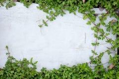 Листья плюща на поле кирпича Стоковая Фотография