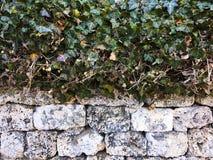 Листья плюща покрывая каменную стену искусственная голубая светлая каменная стена Зеленый плющ листает на белой предпосылке камен Стоковая Фотография