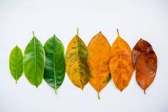 Листья различного времени фруктового дерев дерева jack на белой предпосылке Стоковое фото RF