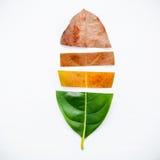 Листья различного времени фруктового дерев дерева jack на белом деревянном backg Стоковое Изображение