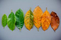 Листья различного времени фруктового дерев дерева jack на серой предпосылке A Стоковое Изображение RF