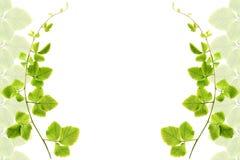 листья рамки зеленые Стоковая Фотография