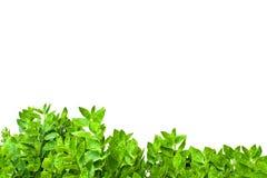 листья рамки изолированные зеленым цветом Стоковая Фотография