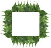 листья рамки ficus Стоковые Фотографии RF
