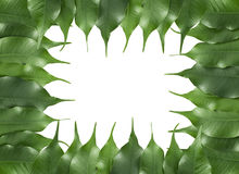 листья рамки ficus Стоковые Изображения
