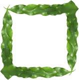листья рамки ficus Стоковая Фотография