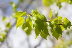 Листья растительности на зеленой предпосылке Взгляд макроса ветви дерева тополя Концепция времени весны, погода солнечного дня Стоковое Изображение RF