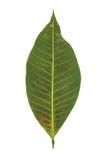 Листья резины Стоковые Фотографии RF