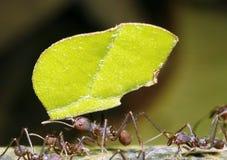 листья резца муравея стоковые фото