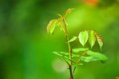 Листья роз в саде Стоковое Фото
