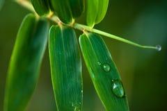 листья росы Стоковые Изображения RF