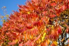 Листья рябины красны Стоковое Изображение